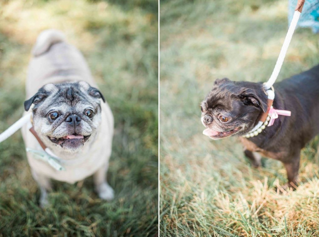 pugs-at-a-wedding-dogs