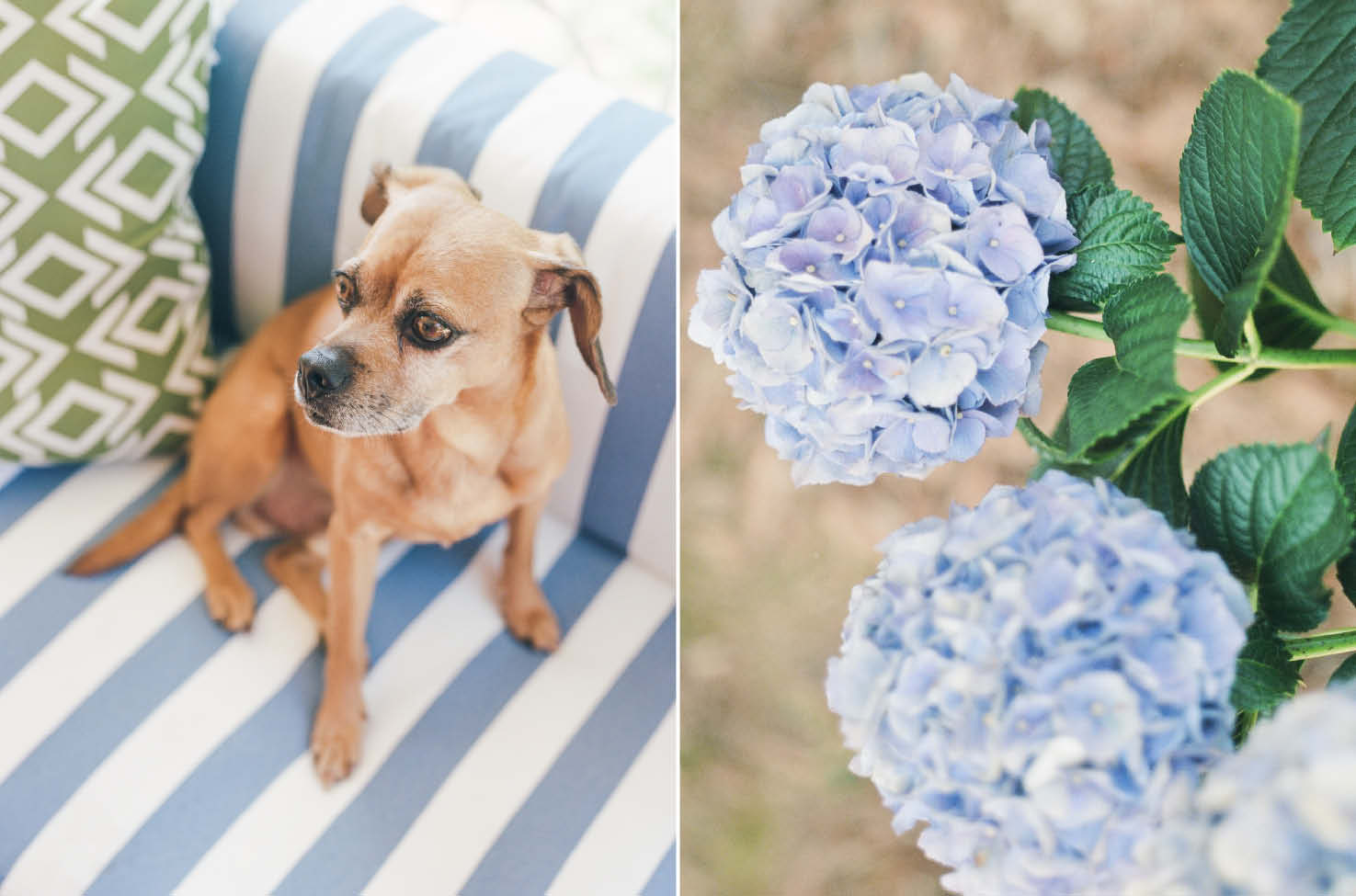 puggle dog blue hydrangeas